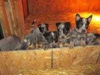 Red Heeler Pups Male and Female. Extremely smart and