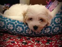 2 female Cavachon puppies born 6-12-15; available to go