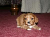 We have a cute young puppy for sale. He is a light ruby