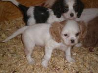 Gorgeous perfect little Cavalier King Charles Spaniel