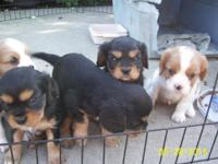 Adorable Cavalier King Charles Spaniel Puppies.Two