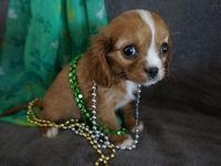 This puppy is a super adorable female Cavalier King