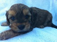 These adorable sweet Cavalier King Charles Spaniel /