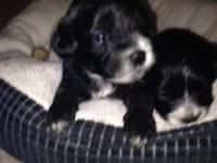 Gorgeous young puppies with exceptional characters and