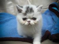 CFA Brown Tabby and White Exotic Shorthair kitten