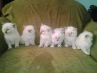 Amore Rags currently has one blue point male Ragdoll