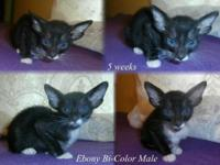 We currently have Oriental shorthair kittens offered.