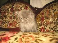 Meet Chloe! Gorgeous little female Persian kitten.