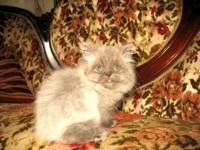 Meet Tyler! Gorgeous little male Persian kitten. Tyler