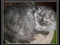 Adorable CFA Registered Male Silver Shaded Persian