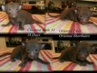 We presently have some cute CFA Registered Oriental