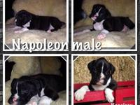 Photos are current . I have a outstanding litter of AKC