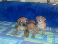 Adorable Chi weenie puppies. Three to choose from. All