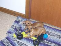 Adorable Chiweenie puppies. Both are females. Mother is