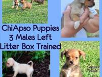 Litter Box trained ChiApso Puppies- 2 males and 1