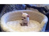 Adorable 9 week old Chihuahua male puppy available to a
