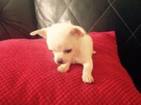 This Adorable little Chihuahua puppy is now 12 weeks