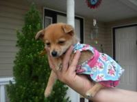 We are selling an adorable chihuahua pomeranian mix