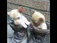 One female one male adorable playfull chihuahua's. They