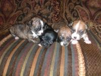 Adorable chihuahua puppies born on October 9 . They are