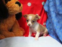 Chihuahua children are ready for adoption! They were