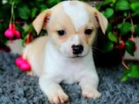 We have available 4 chihuahua puppies 3 males and 1