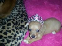 Beautiful home raised chihuahua purebred puppies. Born