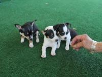 Availabe 3 Chihuahua puppies, 2 males, 1 female. First
