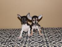 I have two adorable Chihuahua young puppies offered.