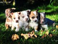 We have Available 5 beautiful chihuahua puppies, 2