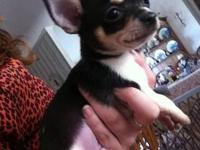 We have three cute male chihuahua puppies for sale; one