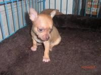 Adorable chihuahua puppies 3 females and 2 males born