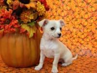 Last one left...Adorable short hair Chihuahua male