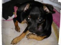 4 month old Female Chihuahua Puppy Adorable, Spunky and