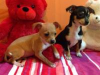 These little girls are chihuahua terriers. They were