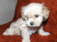 Las Vegas, NV 89119. My yorkie chihuahua mix female had