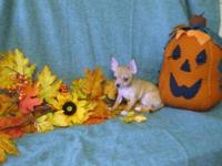 I have some adorable and loving Chihuahua pups to