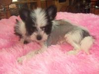 We have avail. One little female puppy that is ready