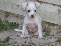 Chihuahua/Whippet mix puppies available!. The mother is