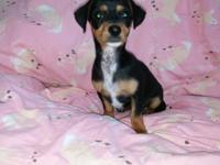 'Gracie' is a 3 month old black/tan and white with