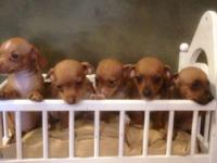 We are AKC dachshund breeders but have a litter of