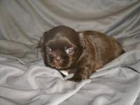 I have one adorable golden chocolate female ready to go