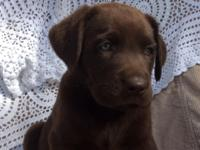 We have beautiful chocolate and yellow lab puppies