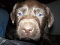 We have (5) adorable chocolate lab puppies that will be