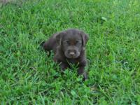 We have a litter of adorable chocolate lab puppies! Dad