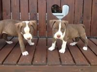 Hello, I have 2 adorable chocolate rednose puppies. One
