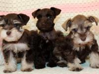 ADORABLE TOY SCHNAUZER PUPPIES - AKC Beautiful Rare