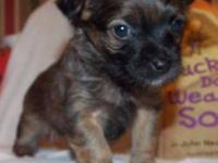 4 adorable chorkie puppies. mom is 7 pound yorkshire