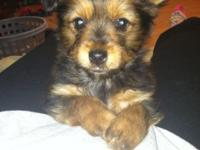 I have a 10 week aged Chorkie new puppy that is the