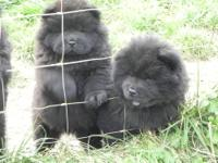 I have 2 black males puppies left and they need a new